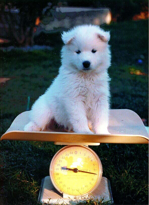 A puppy being weighed on the baby scale (Cookie X Sony puppies)