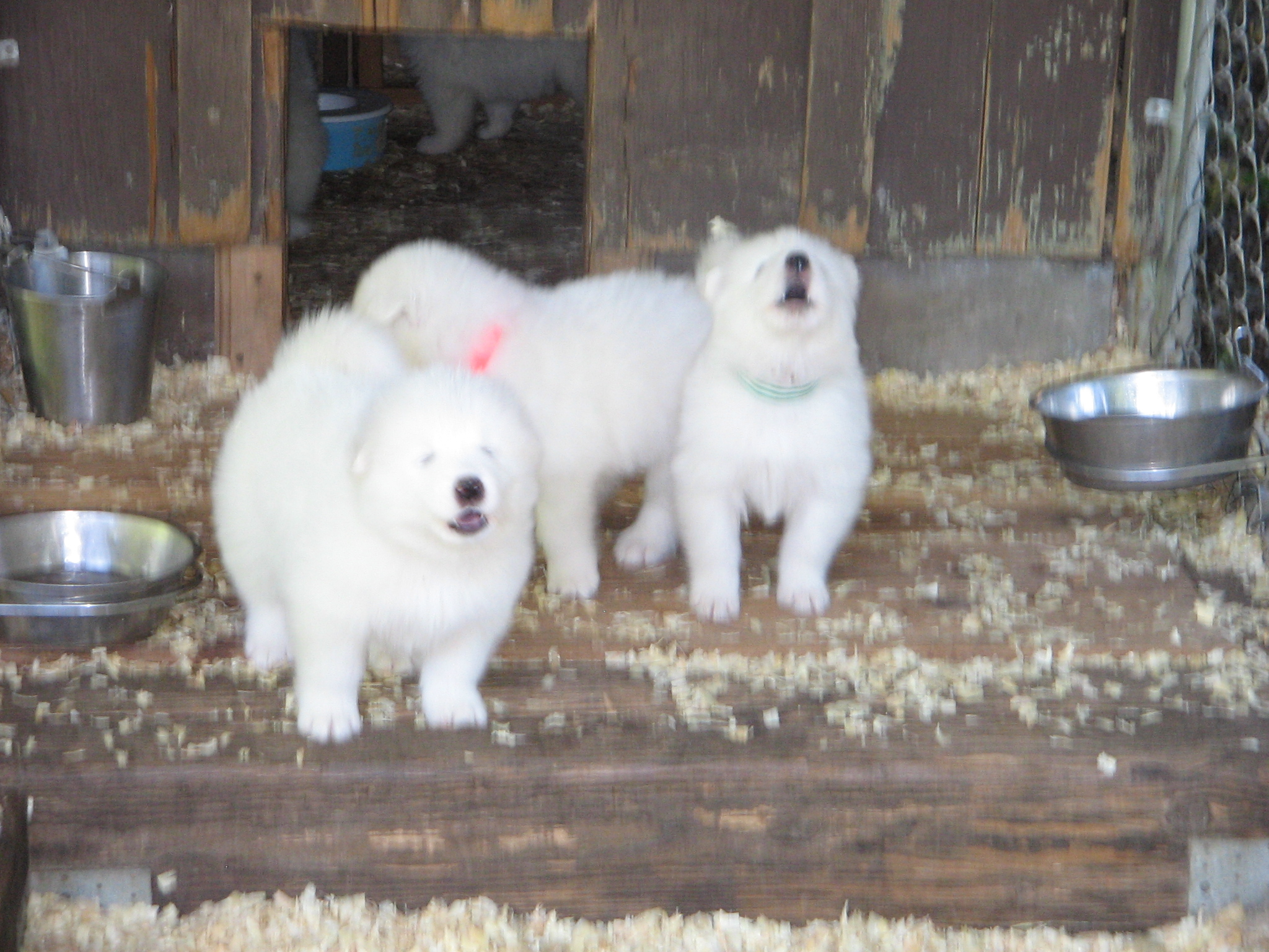 Mytee Samoyeds - Libby's Puppies 2008