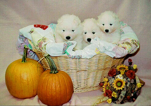 Puppies in a Thanksgiving basket (Chip X Panda puppies)